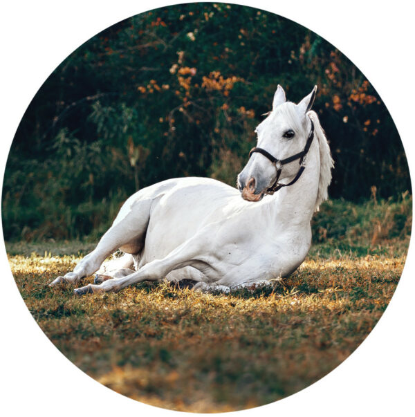 behangcirkel-liggend-wit-paard-1000px.png